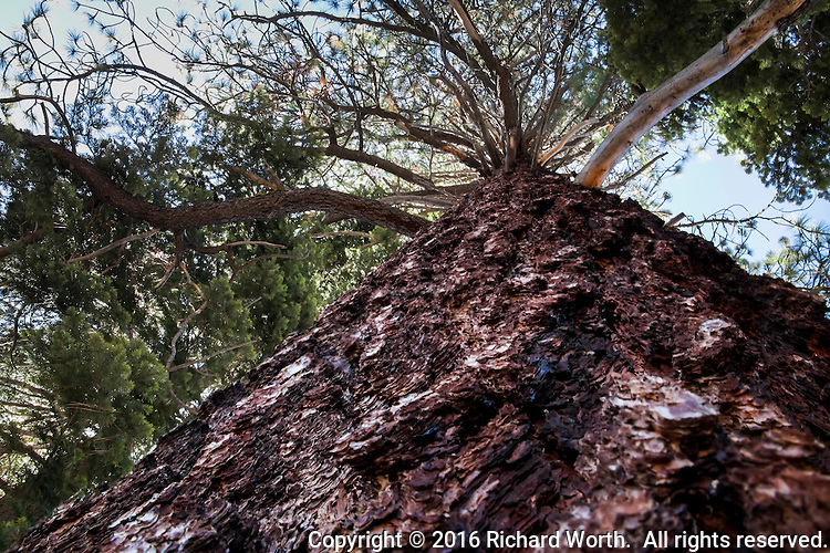 Looking up from the base of a Jeffrey Pine along the Truckee River in Tahoe City, California.