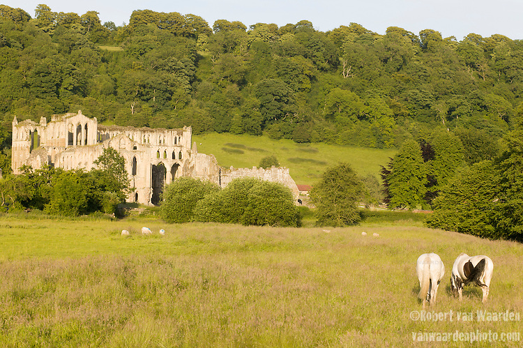 Horses graze near the ruins of the Rievaulx abbey in the United Kingdom. Located near Helmsley in the North York Moors, Rievaulx is a former Cistercian abbey.