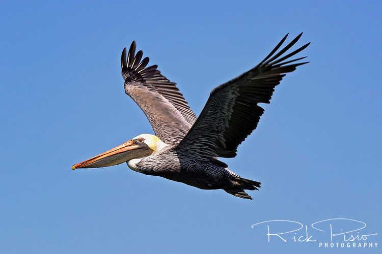 Normally seen flying in squadrons low over the surf line this Brown Pelican (Pelecanus occidentalis) flies solo over the waters of San Francisco Bay. The Brown Pelican was on the brink of extinction due to pesticide pollution but are now an an excellent example of species recovery.