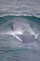 Blue whale Balaenoptera musculus. Waves being deflected by splash guard on rostrum Spitzbergen Barents sea North east Atlantic