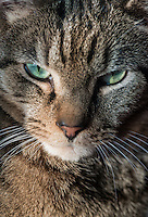Serious tabby cat portrait.