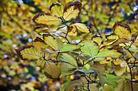 At first glance and with imagination these leaves resembeled giant yellow butterflies with brown edged wings.