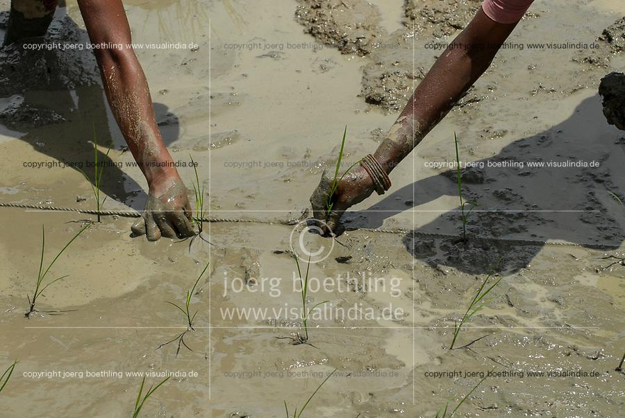 INDIA Westbengal, village Gandhiji Songha , SRI system of rice intensification, paddy cultivation, replanting of rice seedlings in accurate distance / INDIEN Westbengalen , Dorf Gandhiji Songha , Landwirtschaft, Anpassung an den Klimawandel, Verbesserung des Anbau durch SRI System zur Intensivierung des Reisanbau, pflanzen von Reissetzlingen