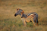 Burchell's Zebra or Plains Zebra (Equus burchelli), Africa.  Mother (mare) with foal.  Serengeti National Park, Tanzania.