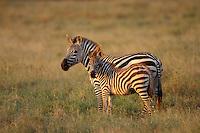 Burchell's Zebra or Plains Zebra (Equus burchelli), Africa.  Mother (mare) with foal.  Serengeti National Park, Tanzania.