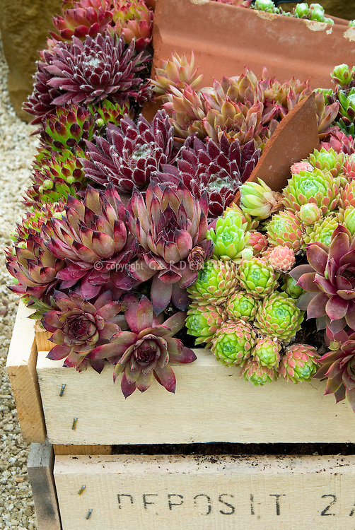 Mixed sempervivum succulent perennials planted in crate box container pot