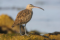 Whimbrel (Numenius phaeopus) perched on coastal rocks. Monterey County, California. November.