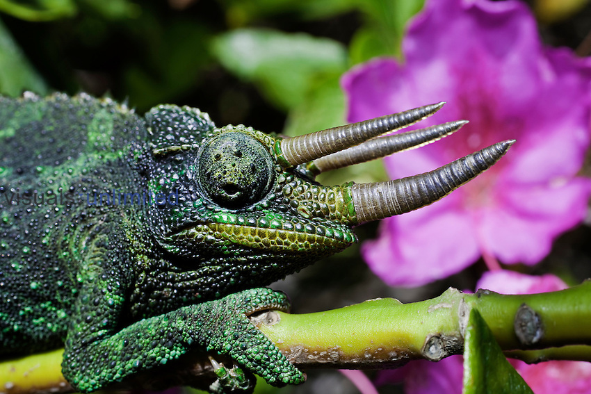 Head of a male Jackson's Chameleon (Chamaeleo jacksoni) Hawaii
