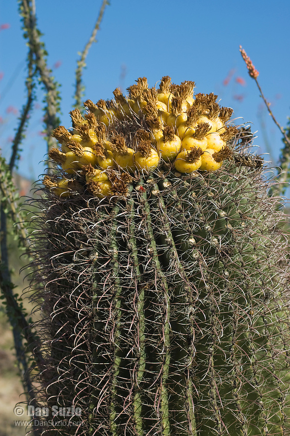 Arizona barrel cactus, Ferocactus wislizenii, with fruits. Near Pena Blanca Lake, Coronado National Forest, Arizona