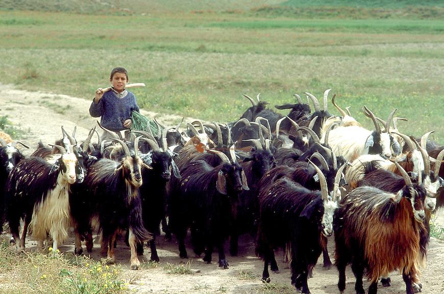Young Kuchi shepherd with his flock of goats