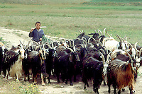 Young Kuchi shepherd with his flock of goats