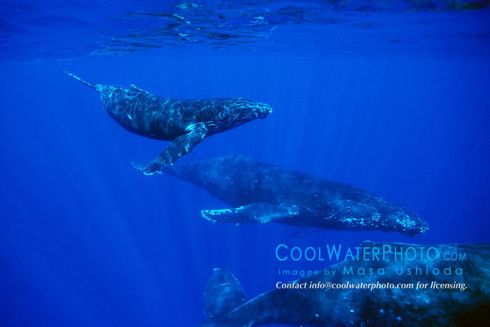 humpback whales, calf and escort, .Megaptera novaeangliae, .Hawaii (Pacific).