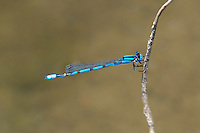 320240021 a wild male familiar bluet enellagma civile perches on a dead twig over the lake at parker canyon lake cochise county arizona