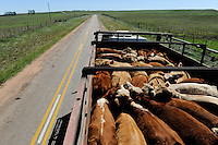 URUGUAY cattle transport of cows to the slaughterhouse of MAFRIG Group in Tacuarembo / URUGUAY Rindertransport zum Schlachthof der MARFRIG Gruppe, ein brasilienanisches Unternehmen, in Tacuarembo