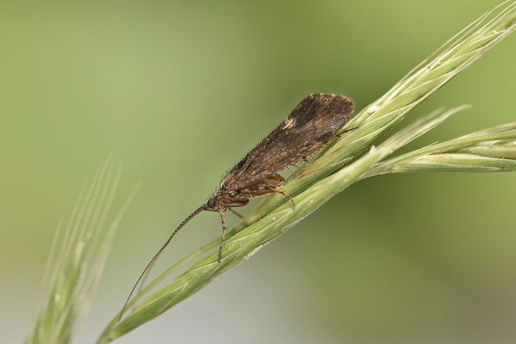 Limnephilus sparsus - a caddisfly of woodland streams