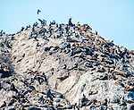 Sea lions climb to the top of Bird Rock, on 17 Mile Drive, Pebble Beach, displacing many of the rock's resident cormorants