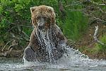 Brown bear(s), (Ursus arctos), Katmai National Park, Alaska