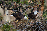 Bald Eagle Nest (Haliaeetus leucocephalus)--adult feeding ten to twelve day old eaglet in tall ponderosa pine tree.  Oregon.  April.
