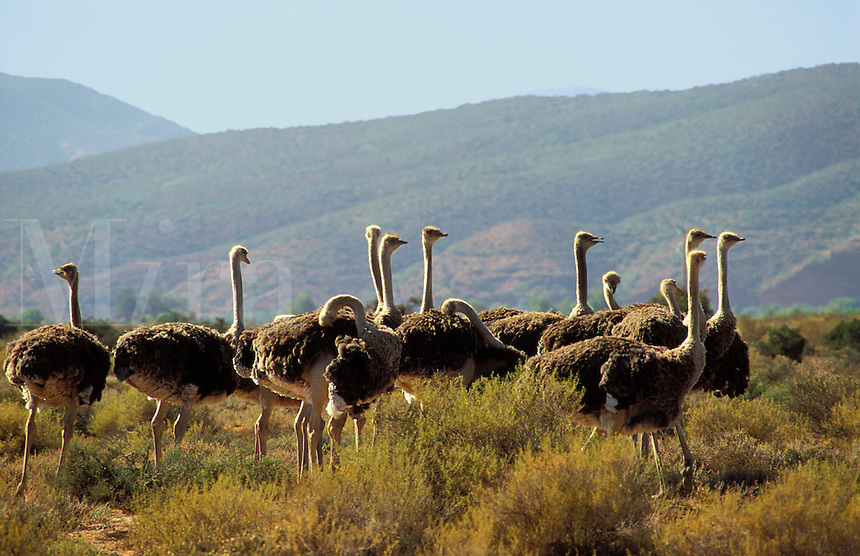 South Africa.  Farmed ostriches on the Karoo .
