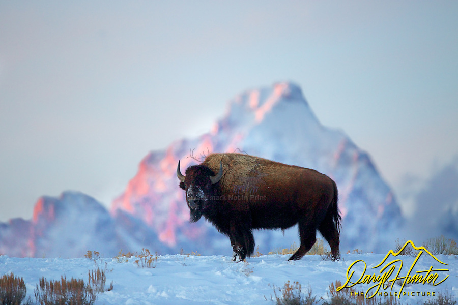 Alpenglow, Bison, Grand Tetons, Jackson Hole, Wyoming