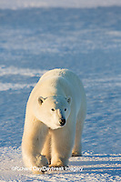 01874-14011 Polar Bear (Ursus maritimus) in Churchill Wildlife Management Area, Churchill, MB Canada