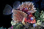 Dendrochirus brachypterus, Shortfin lionfish, Indonesia