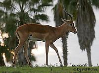 0214-08oo  Impala Antelope, Aepyceros melampus © David Kuhn/Dwight Kuhn Photography