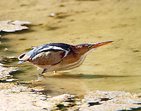Adult male least bittern cocked and ready to grab a minnow