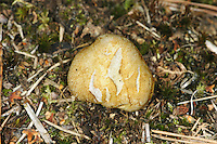 yellow false truffle<br /> Rhizopogon luteolus