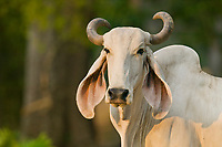 Cow, Carara, Costa Rica, Central America