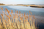 Reeds growing on the tidal estuary of the River Alde at Snape, Suffolk, England