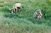 USA, Wyoming, Encampment, big horn sheep eating vegetation, AbarA Ranch