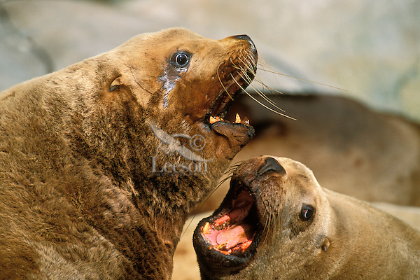 Two Northern Sea Lions or Steller's Sea Lions arguing over space on a haul-out rock.  Alaska.