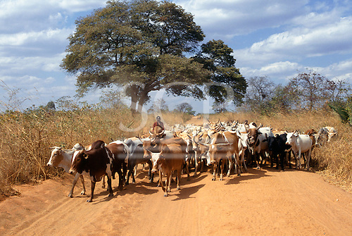 Kigoma, Tanzania. Maasai herdsman with his herd of cattle on a dirt road.