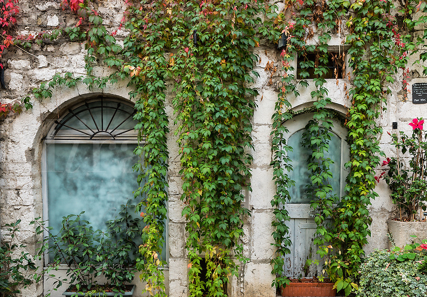 Old building facade draped with dense ivy, St Paul de Vance, Provence, France