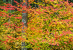Silver Falls State Park, OR: Tapestry of fall colors of a vine maple (Acer circinatum)