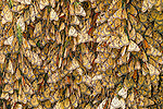 Tightly-packed Monarch Butterflies in semidormancy at a winter roost in the remote mountains of Central Mexico