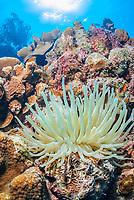 Giant anemone, Condylactis gigantea, Bonaire, Caribbean Netherlands, Caribbean