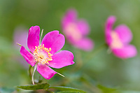 Pink blossoms of the prickly rose, or wild rose in spring, Interior, Alaska.