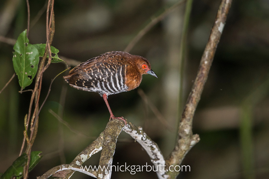 Red-legged Crake (Rallina fasciata) roosting in the rainforest understory. Kinabatangan River, Sabah, Borneo. September.