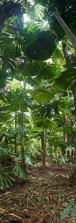 Licuala palm forest at Cape Tribulation, Daintree National Park, Queensland, Australia