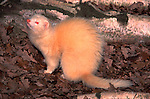 Ferret (Mustela putorius) - Blean Woods, Kent, captive  .white.United Kingdom....