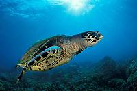 hawksbill sea turtle or honu (H), Eretmochelys imbricata, ( an endangered species ) Honokohau, Kona, Big Island, Hawaii, USA, Pacific Ocean
