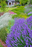 Vashon-Maury Island, WA: Summer perennial garden featuring lavender and heathers at Nashi Orchards