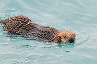 Alaskan or Northern Sea Otter (Enhydra lutris) pup