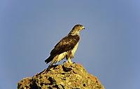 Habichtsadler, Habichts-Adler, Hieraaetus fasciatus, Aquila fasciata, Bonelli's eagle, L'Aigle de Bonelli