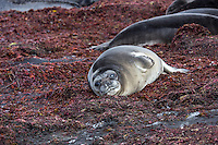 Southern Elephant Seal in the seaweed at Corinthian Bay, Heard Island