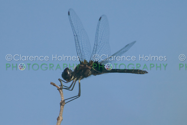 Marl Pennant (Macrodiplax balteata) Dragonfly - Male, Little Estero Lagoon, Fort Myers Beach, Lee County, Florida