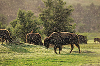 American Bison in summer thunderstorm (raining), Theodore Roosevelt National Park, North Dakota.