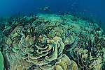 Massive area of cabbage corals  with diver
